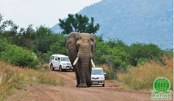 大象说,地球是咱们的,你以后别按喇叭这么霸道烦我(高清组图)