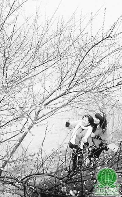 世界首张梅花全基因精细图谱揭示—— 梅香并非苦寒来