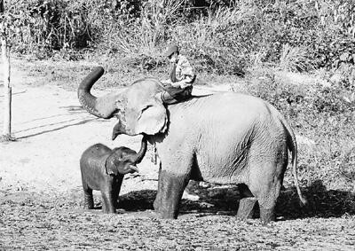 谁来拯救东南亚的大象