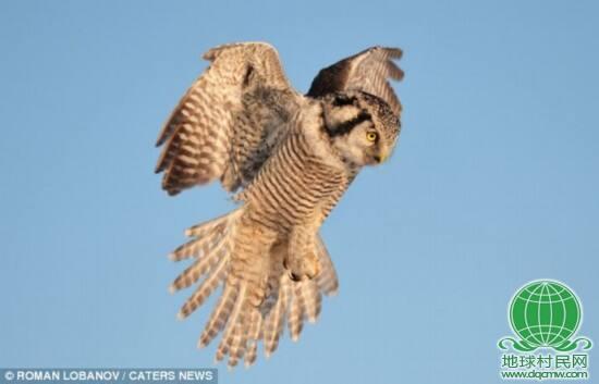 英国《每日邮报》3月18日刊登了一组罕见的猫头鹰捕食照。这组惊人的照片显示,一只猫头鹰正在俄罗斯荒野地区从空中俯冲地面,捕捉一只小老鼠。据报道,这组照片是由俄罗斯摄影师洛巴诺夫(Roman Lobanov)拍摄的。为了拍摄任务,洛巴诺夫曾忍耐俄罗斯雷宾斯克地区零下气温,静静等待了数小时。当猫头鹰俯冲向这只小老鼠时,老鼠试图逃跑,但终究不敌对手。