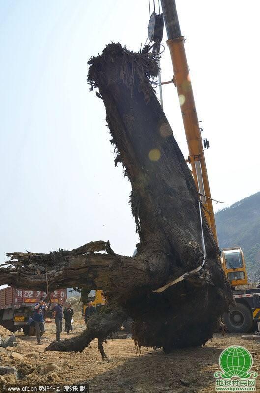 四川攀枝花米易出土重达40吨千年古杉木