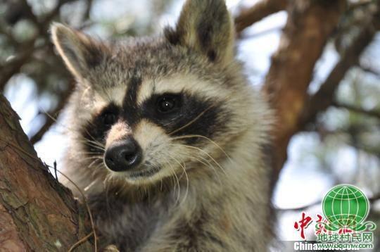 云南野生动物园一只浣熊疑被游客顺走(图)