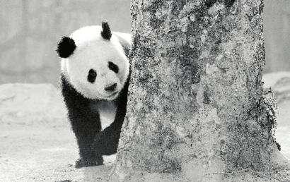 熊猫客死郑州动物园追踪:四川曾两次发函保护