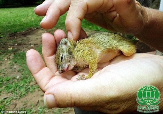 女孩接小松鼠回家后,每日照顾其饮食,无微不至。